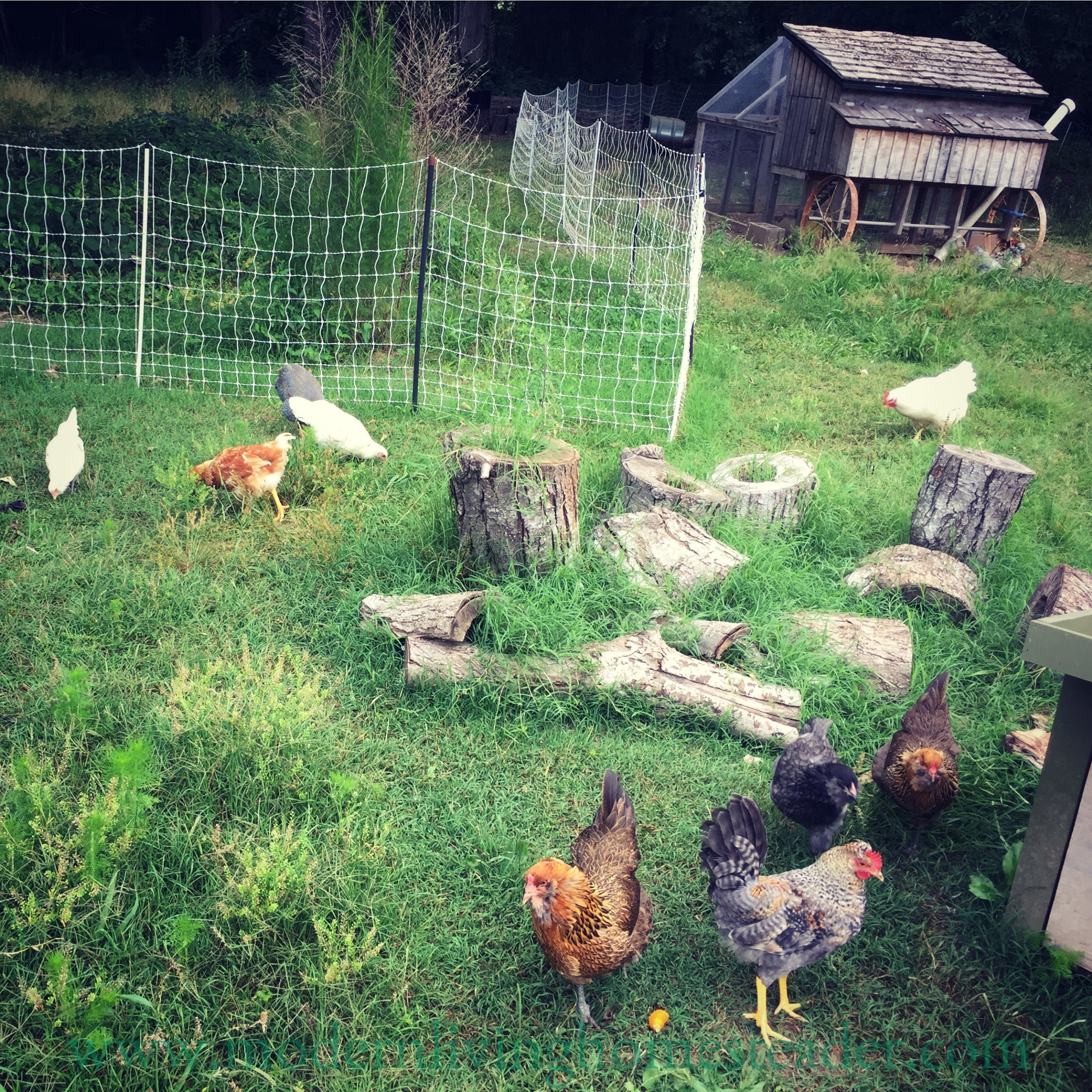 Getting started with chickens doesn't need to be overwhelming! Follow this simple guide to start your own healthy, happy chicken flock. www.modernlivinghomesteader.com
